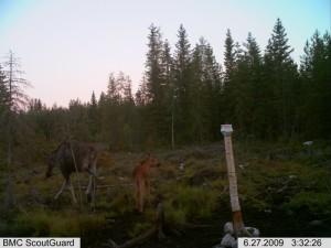 Hirvet oppivat jo pienestä pitäen käyttämään hyväksi metsästäjien tarjoamia lisäravinteita.